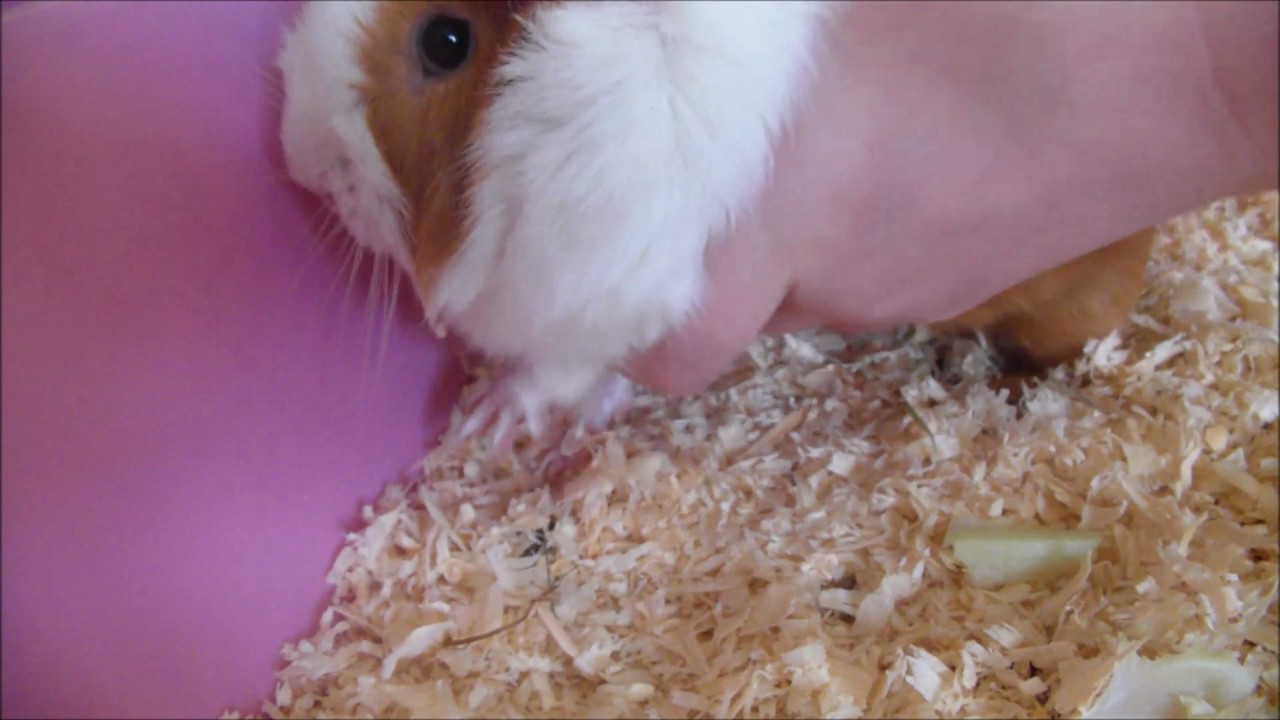 Switzerland Makes It Illegal To Own Just One Guinea Pig ...
