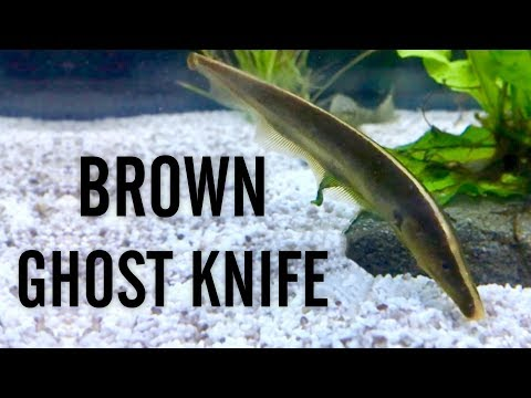 Brown Ghost Knifefish
