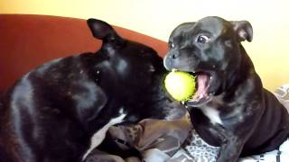 Staffordshire Bull Terriers Playing With Roger Federer Tennis Ball