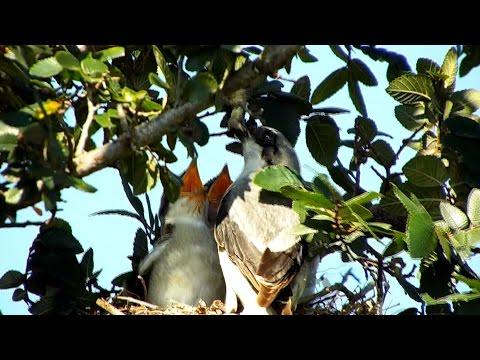 Loggerhead Shrike feeding nestlings