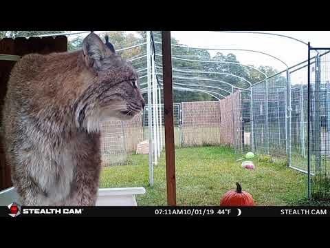 Max Canada Lynx Spy Cam #1