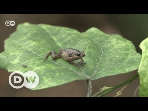 A superhero for Ghana's frogs | DW English