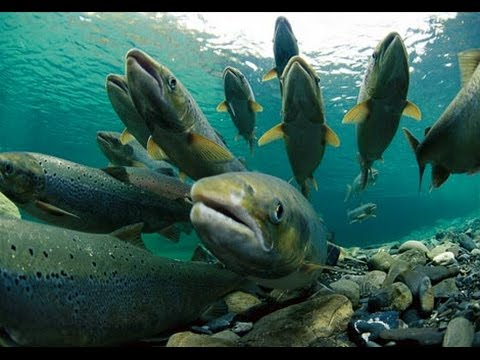 Nature Salmon Documentary - English Eubtitles
