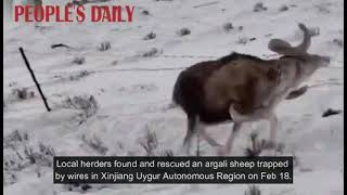 Local herders helped and rescued an argali sheep with horns tangled in wires in NW China's Xinjiang.