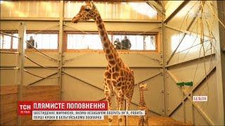Миле жирафеня: у бельгійському зоопарку показали наймолодшого мешканця