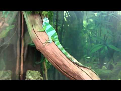 The Fiji banded iguana (Short Clip)