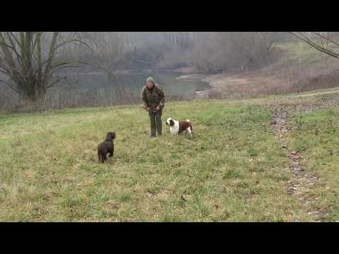 ELFIN  the WELSH SPRINGER - PLUME the FIELD SPANIEL WORKING