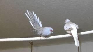Balzende Diamanttaube/Diamond dove display