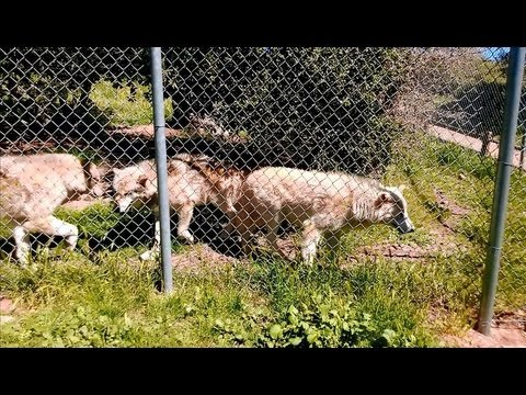 Alaskan Gray Wolves, Canis lupus, California Wolf Center