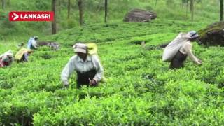 University students in Japan in the upcountry tea flush
