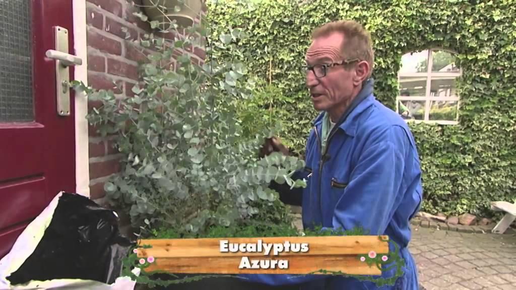 eucalyptus 39 azura 39 youtube. Black Bedroom Furniture Sets. Home Design Ideas