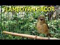 Flamboyan Gacor Full Tembakan Dan Nyuling Masteran Mantap  Mp3 - Mp4 Download
