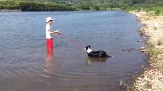 2016.5.29撮影。 ボーダーコリー6ヶ月の女の子。 初めての川遊び。はじ...