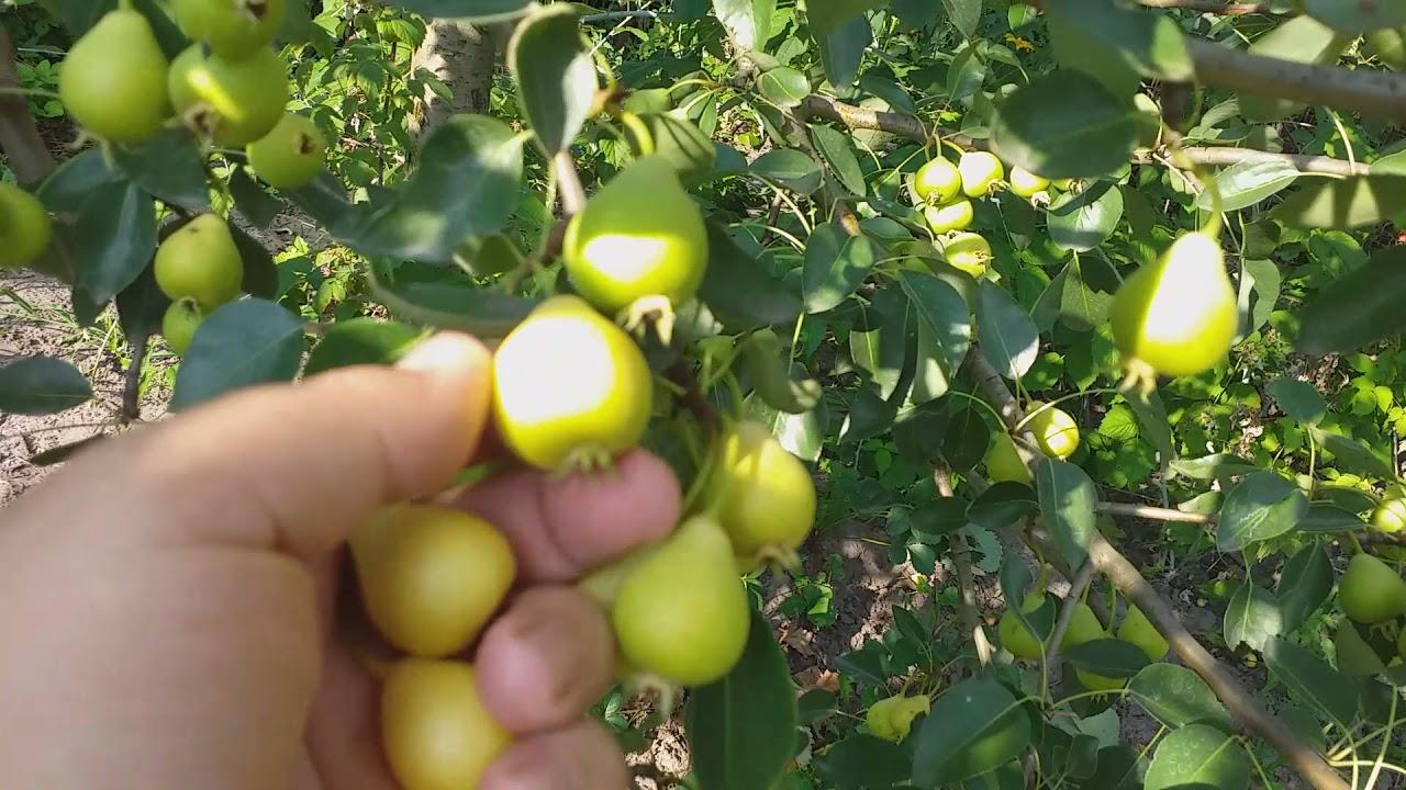Ультра ранний сорт груши Петривка!!! Редкий сорт в наших садах.