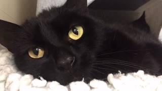 Gentle Black Cat With Amazing Yellow Eyes