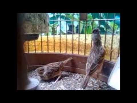 Burung Branjangan Kalimantan Menjinakkan Burung Branjangan Yang Giras Youtube