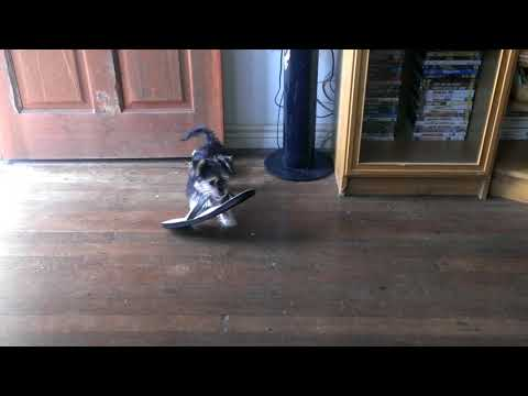 Lara australian terrier x