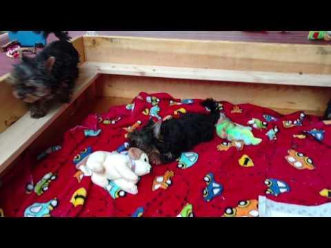 PuppyFinder.com : Funny Yorkshire terrier puppies
