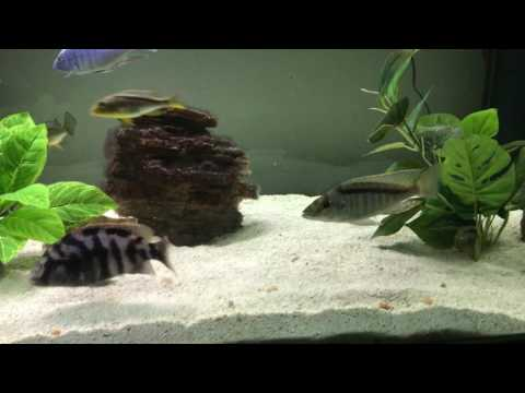 African Cichlids Flashing Against The Substrate: What Does That Mean?