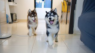 What Our Day Looks Like Living With Husky Puppies