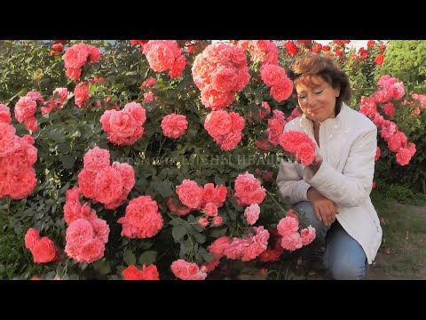 Цветение розы Rosarium Uetersen. Питомник Роз Иващенко Елены.