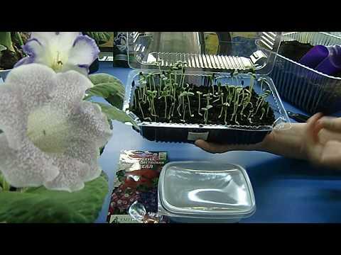 Вербена, правильный посев семян с кипятком ! Мой любимый метод !