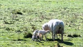 グレノーキーの牧場は子羊一杯。生まれてから2-3時間のもたくさんいまし...
