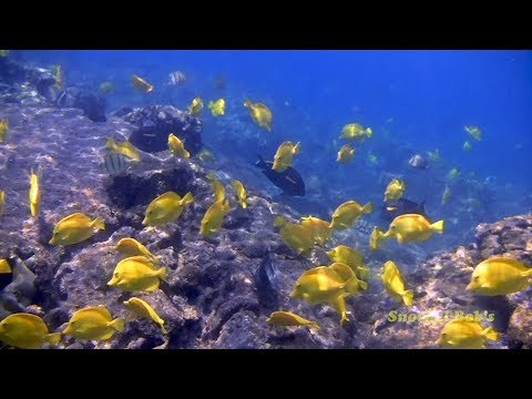 Yellow Tangs, Living Wild And Free On A Reef In Hawaii.