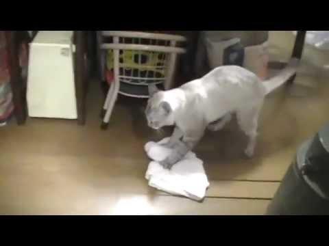 Un gato muy pulcro ayuda a su dueño a limpiar el piso de su casa