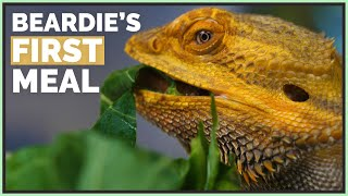 Bearded Dragon Eats Real Food for the First Time