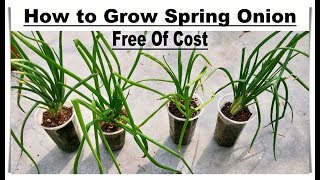 Awesome Method To Grow Healthy Spring Onion At Home (AT ZERO COST) - Full Life Cycle In One Video