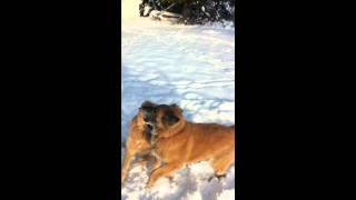 Akita Lab Mix And Golden Retriever Play Fighting