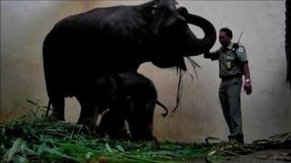 Endangered Sumatran elephant born in captivity