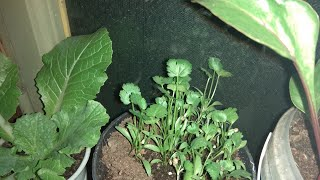 Укроп, кинза, руккола, свекла, пекинская капуста, огурцы, шпинат на подоконнике в апреле
