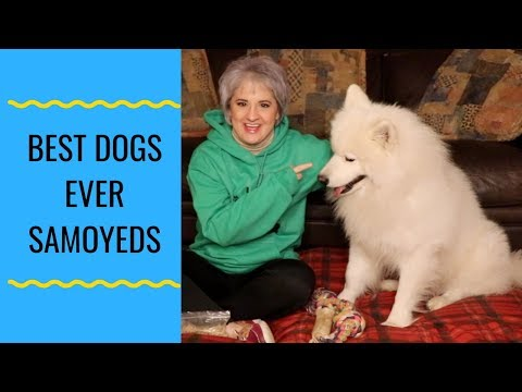 Best Dogs Ever Samoyeds