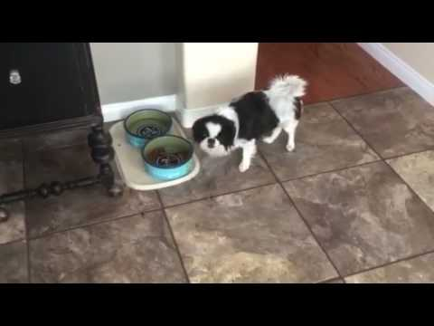 LuLu the Japanese Chin picks out old dog food to eat Evanger's Meat Lover's Medley
