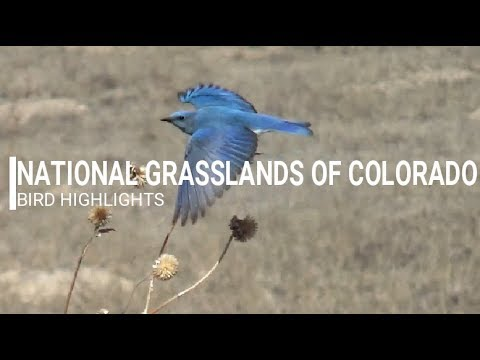 National Grasslands of Colorado | Mountain Bluebird, Snow Geese, etc. | TBM