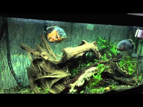 Juwel Rio 400 Oscar Fish Aquarium
