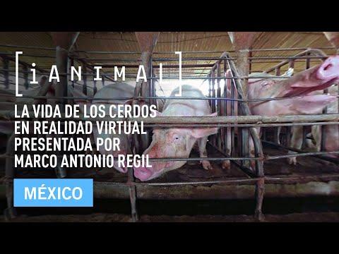 iAnimal - La vida de los cerdos en realidad virtual presentada por Marco Antonio Regil