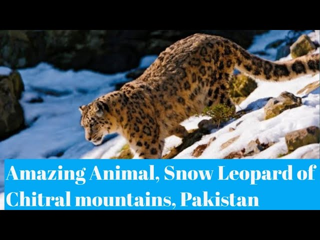 Natural World |  Snow Leopard of PAKISTAN | Animal In Danger | Northern Pakistan