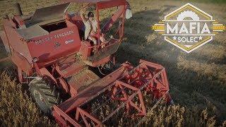Żniwa z MST na Wesoło ☆ Massey Ferguson 86 & Ursus c360 3p ✔ MafiaSolec
