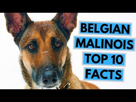 Belgian Malinois - TOP 10 Interesting Facts