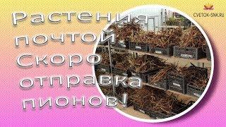Gambar cover Растений почтой! Скоро отправка пионов / Сад Ворошиловой