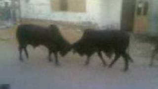 ox fighting in traffic and public