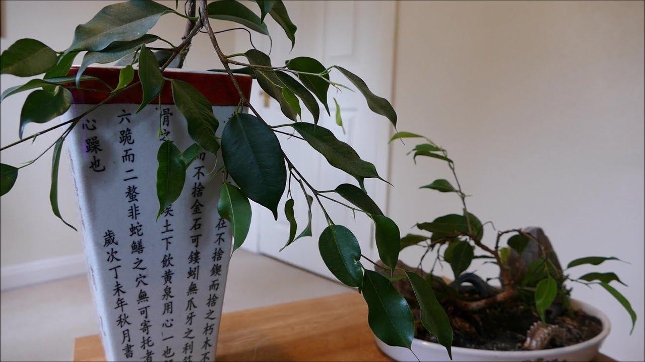 Ficus Benjamina Cascade And Penjing Style Bonsai Wiring Update Styles