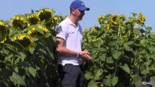 Цветение на участке гибридизации подсолнечника Рими