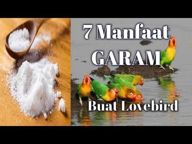7 Manfaat GARAM untuk Lovebird anda