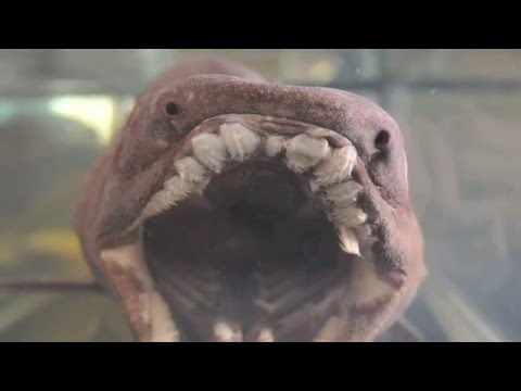 Frilled Shark - Chlamydoselachus anguineus
