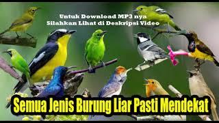 Suara Pikat Semua Jenis Burung Kecil, Pasti Mendekat Terbukti Ampuh (MP3)