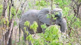 The Wild Elephants Of Mole National Park - Safari By Foot - Ghana, Africa